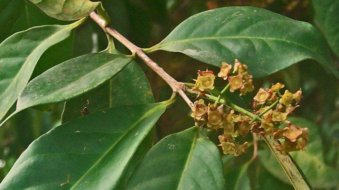 manfaat daun salam untuk asam urat