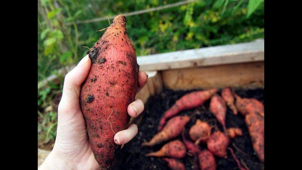 manfaat ubi jalar untuk asam urat