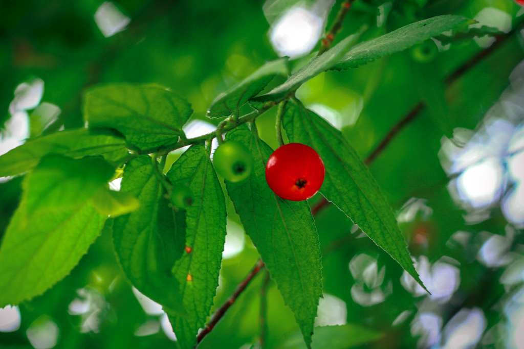 daun kersen untuk obat diabetes