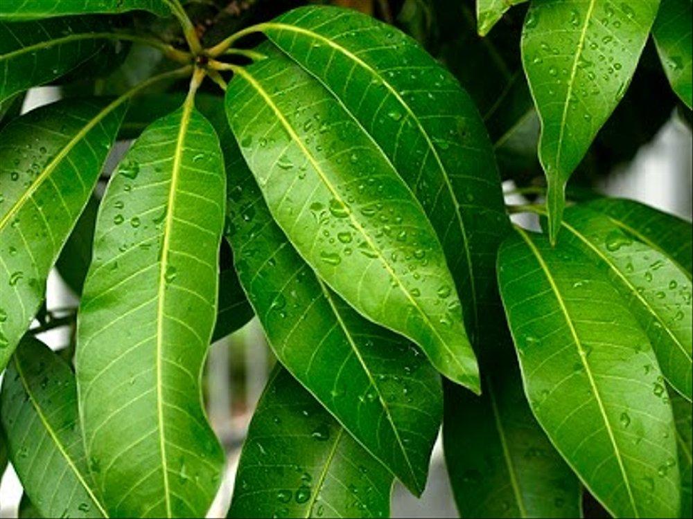 efek samping daun mangga
