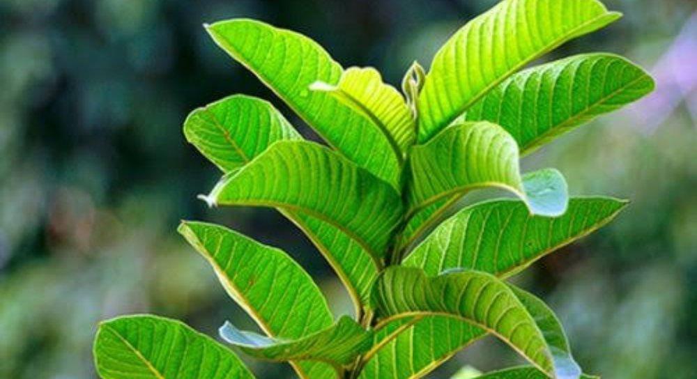 fungsi & khasiat daun jambu biji