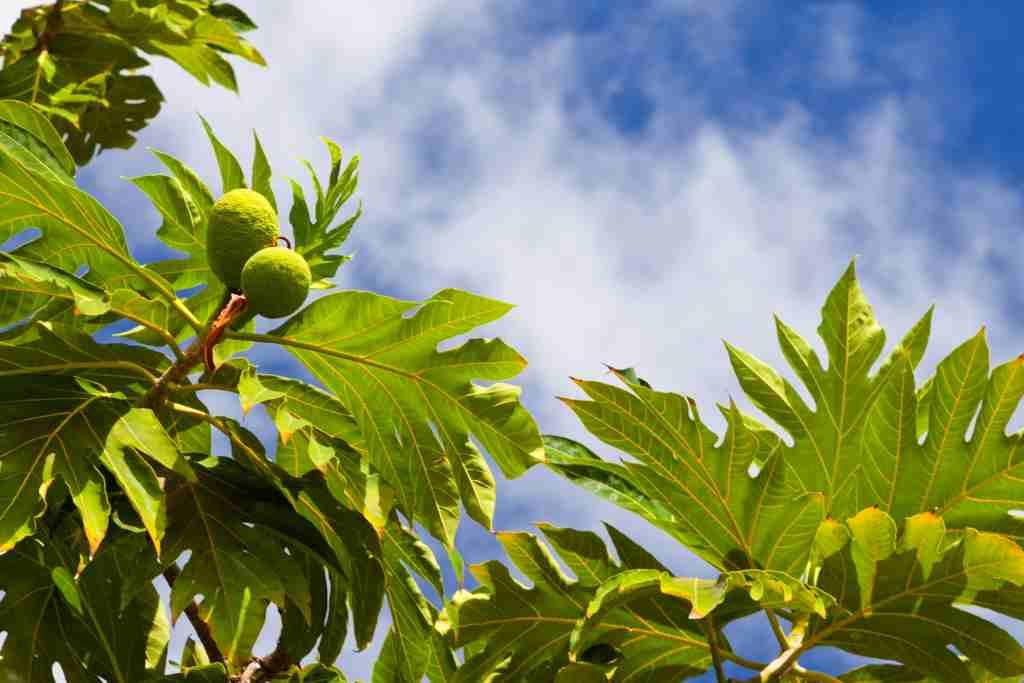 manfaat daun untuk asam urat
