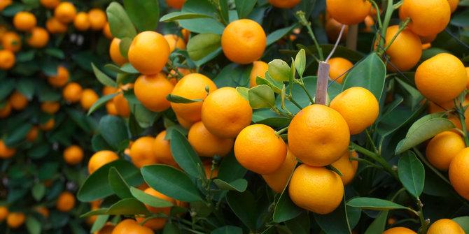 buah jeruk untuk asam urat