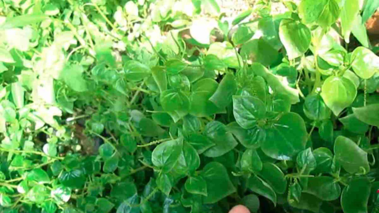 daun sirih cina untuk asam urat
